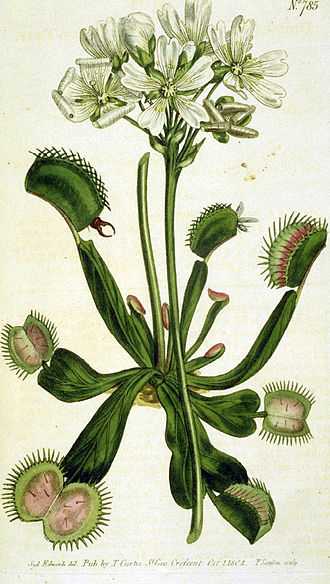 Venus flytrap - Illustration from Curtis's Botanical Magazine by William Curtis (1746–1799)