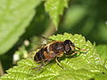 Dronefly - Mistbiene (Syrphidae- Eristalis) (6979045272).jpg