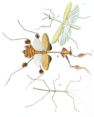 Tegmen - Note the camouflage-adapted anatomy of the tegmina of the middle specimen