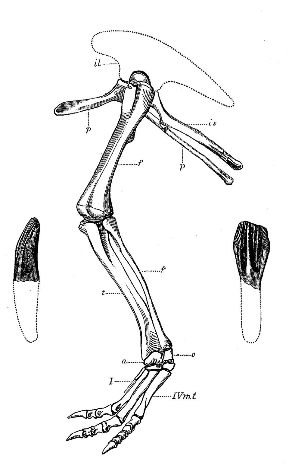 Dryosaurus limb