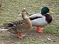 Duck, Enniskillen (12) - geograph.org.uk - 1750617.jpg