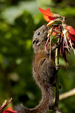 Dusky striped squirrel by N A Nazeer.jpg