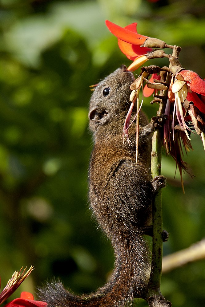 The average litter size of a Nilgiri striped squirrel is 2