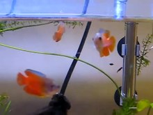 File:Dwarf Gourami in Aquarium.WebM