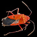 Dysdercus ocreatus U, back, Dominican Republic 2012-12-04-17.jpg