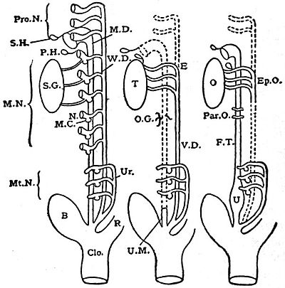 EB1911 Reproductive System, in Anatomy - formation of the genito-urinary apparatus.jpg
