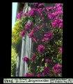 ETH-BIB-Las Palmas, Gran Canaria, Bougainvillea-Dia 247-07423.tif