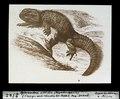 ETH-BIB-Sphendon viridis (Rhyncho cepkala), einziges noch lebendes Ur-Reptil, Neu Seeland-Dia 247-02542.tif