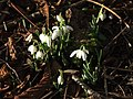 Early Snowdrops - geograph.org.uk - 322106.jpg