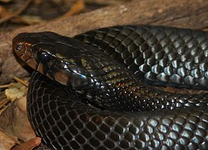 Drymarchon - Drymarchon couperi, eastern indigo snake