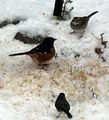 Eastern Towhee, Dark-eyed Junco, and White-throated Sparrow - Flickr - Jay Sturner.jpg