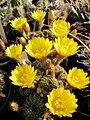 Echinopsis arachnacantha subsp. arachnacantha.jpg