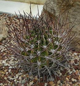 Echinopsis ferox c-3311 - 02A