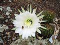 Echinopsis sp. (Bolivia) (7658018302).jpg