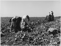Edison, Kern County, California. Pickers sack early potatoes, dug by mechanical digger on large-scal . . . - NARA - 521805.tif