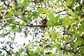 Eichhörnchen Sciurus vulgaris Nationalpark Donau-Auen Lobau Mai 2016.jpg