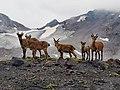 Elbruswild.jpg