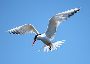 Elegant tern - Fishing at Bolsa Chica Ecological Reserve, California, USA