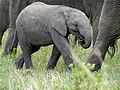 Elephant (Loxodonta africana) baby (11550294696).jpg