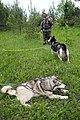 Eleveurs de huskies dans l'Oblast de Kostroma (2).jpg