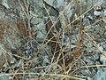 Elgaria multicarinata (28838823128).jpg