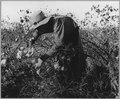 Eloy District, Pinal County, Arizona. Child laborer in Arizona cotton field. 12-year-old boy born i . . . - NARA - 522231.tif