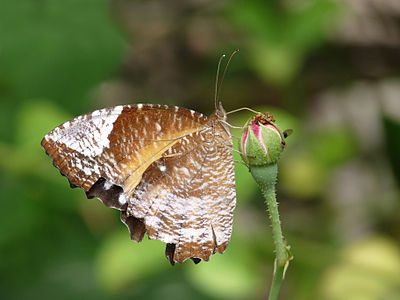 Elymnias hypermnestra race caudata, female