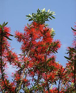 <i>Embothrium</i> genus of plants