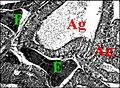 Endocrinoide Poecilopachys 2.jpg