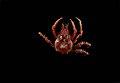 Epialtidae (MNHN-IU-2013-1997).jpeg