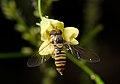 Episyrphus balteatus-pjt4.jpg