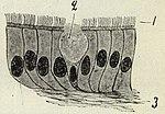 Epitel, Från en liten bronks slemhinna, Nordisk familjebok.jpg