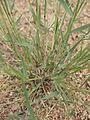 Eragrostis cilianensis foliage.jpg