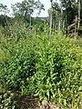 Erechtites hieraciifolia sl14.jpg