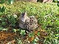 Erinaceus europaeus (puppy) 3.jpg