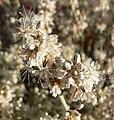 Eriogonum wrightii var wrightii 7.jpg