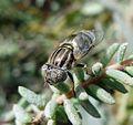 Eristalinus sp. (sepulchralis^ or aeneus) - Flickr - gailhampshire.jpg