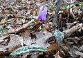 Erythronium dens-canis in national natural monument Mednik (01).jpg