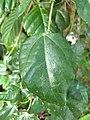 Erythropalum scandens - Redstake Climber, വെട്ടടമ്പ് vettatamp.jpg