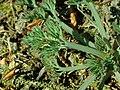 Eschscholzia californica 2019-04-16 0215.jpg