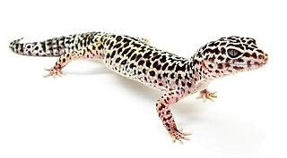 Common leopard gecko Species of reptile