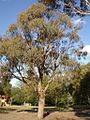 Eucalyptus nicholii.jpg