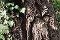 Eucalyptus sideroxylon (23364877623).jpg