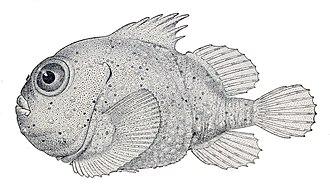 Lumpsucker - Eumicrotremus phrynoides