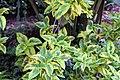 Euonymus fortunei 19zz.jpg