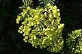 Euphorbia characias flowers.jpg