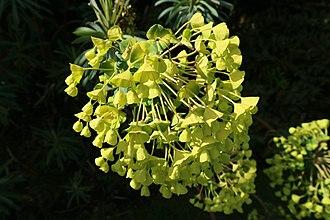 Euphorbiaceae - Euphorbia characias flowers