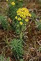 Euphorbia cyparissias-02 (xndr).jpg