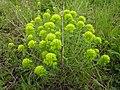 Euphorbia cyparissias MdE.jpg