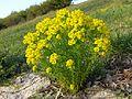 Euphorbia cyparissias sl8.jpg